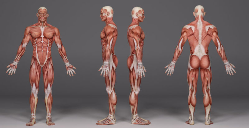 Fisiología - Cuerpo humano