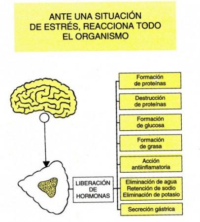 (Cómo reacciona el cuerpo ante el estrés.)
