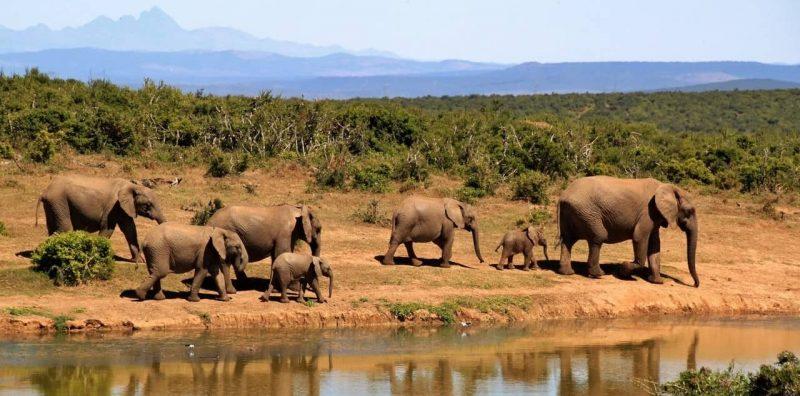 factores bioticos - elefantes