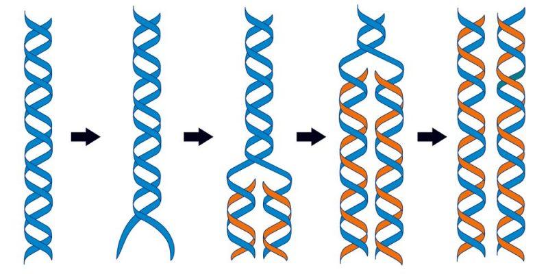 Adn Concepto Estructura Replicación Y Diferencias Con Arn