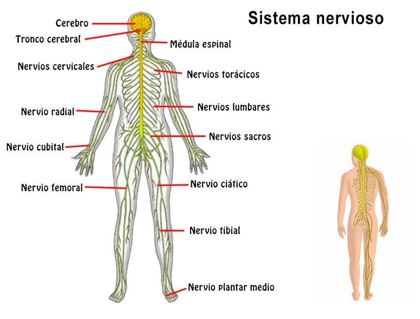 Sistema Nervioso Concepto Partes Funciones Y Enfermedades