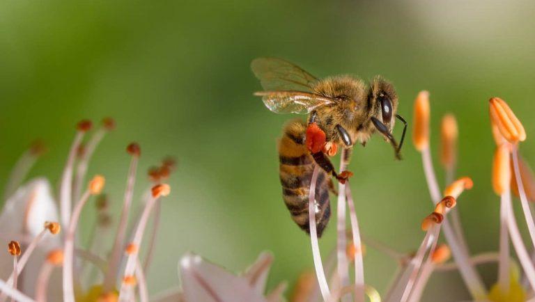 abeja - invertebrados