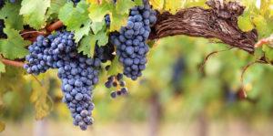 Materia prima - uvas - vino - viñedo