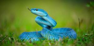 Reptiles - Serpiente azul