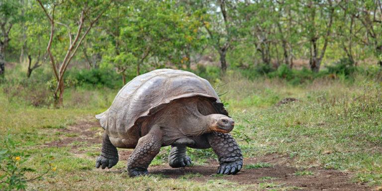 Tortuga galápagos - Especie extinta