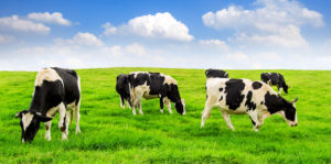 Especie exótica - vaca