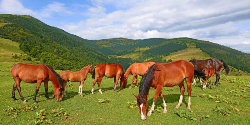 Animales domésticos - caballo