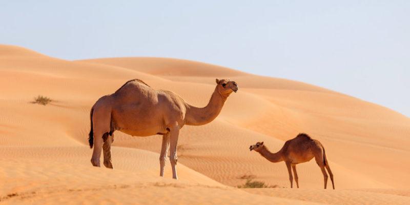 Animales domésticos - camello