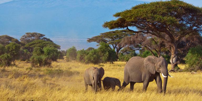 Organismo pluricelular - elefante