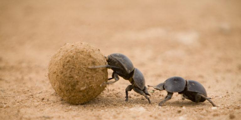 Organismos descomponedores - escarabajo pelotero