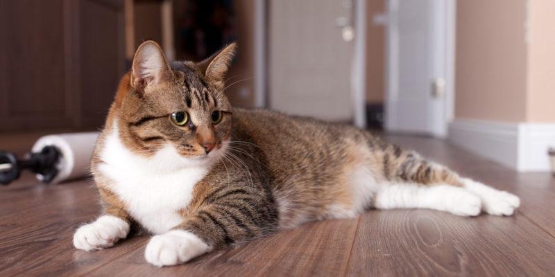 Animales domésticos - gato
