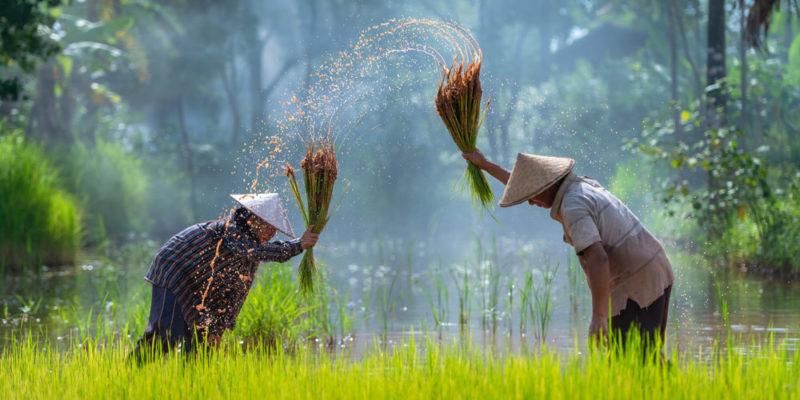 Granjeros asiáticos