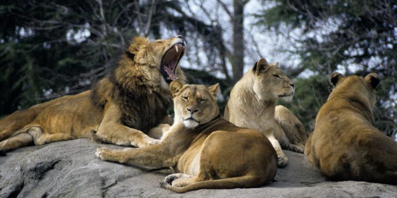 Manada de leones - población