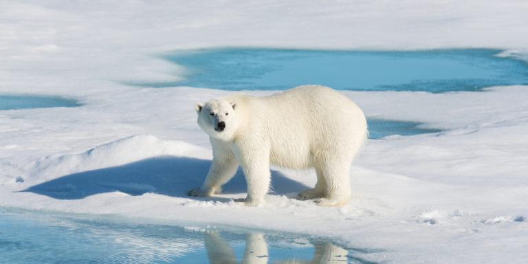 Oso polar - especie en peligro de extinción