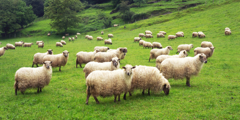 Animales domésticos - oveja