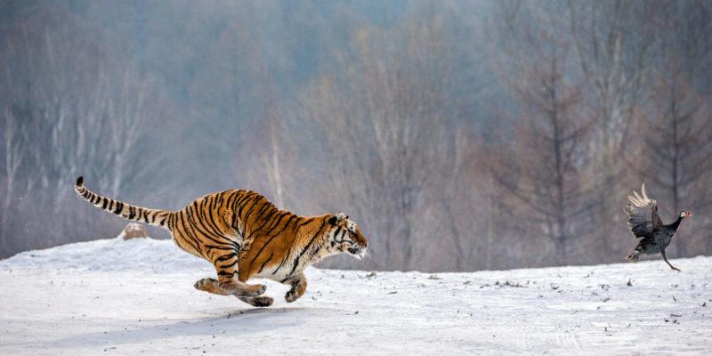 tigre carnívoro cazando