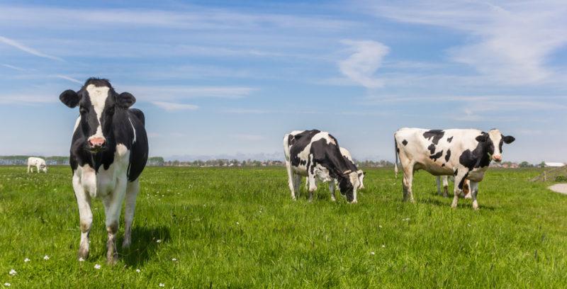 Animales domésticos - vaca