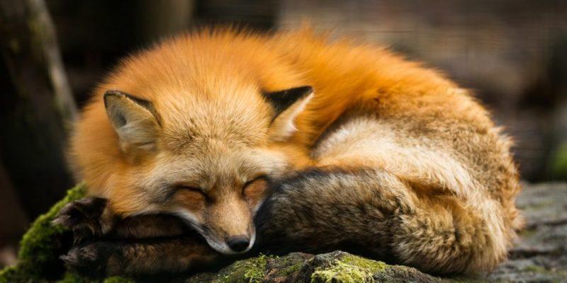 animales del bosque zorro rojo mamifero