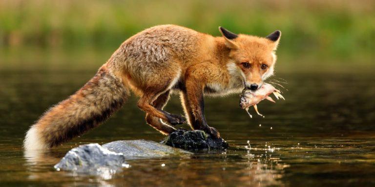 animales omnivoros zorro caza pez