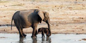animales viviparos mamiferos elefante