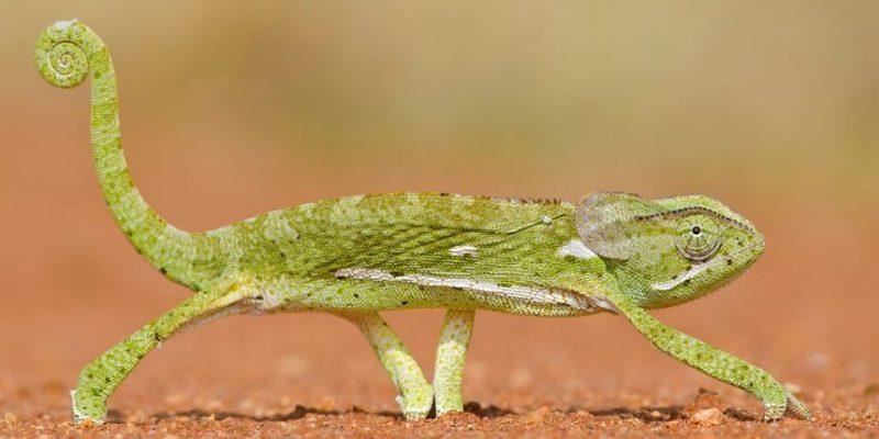 animales viviparos ovoviviparos camaleon