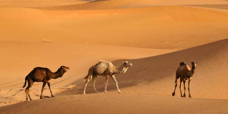 Camello - animales del desierto