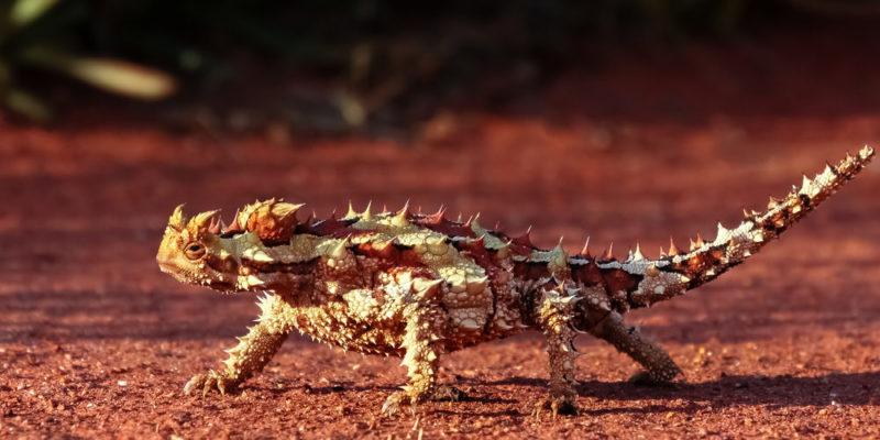 animales del desierto - diablo espinoso