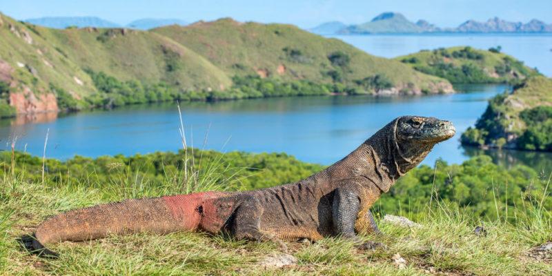 Dragón de Komodo - animales salvajes