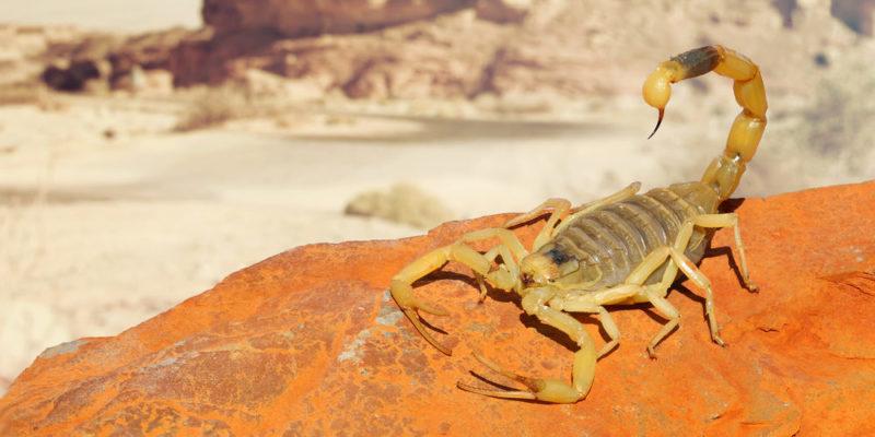 Escorpión - animales del desierto