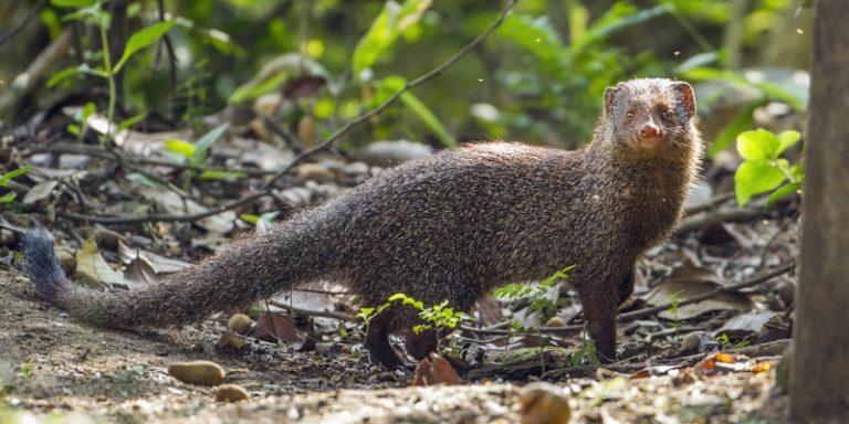 especies invasoras mangosta india