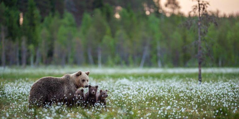 habitat bosque osos