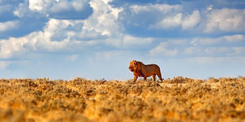 habitat leon africa sabana