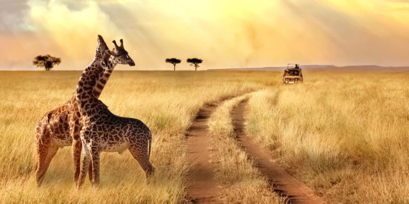 animales salvajes - jirafa