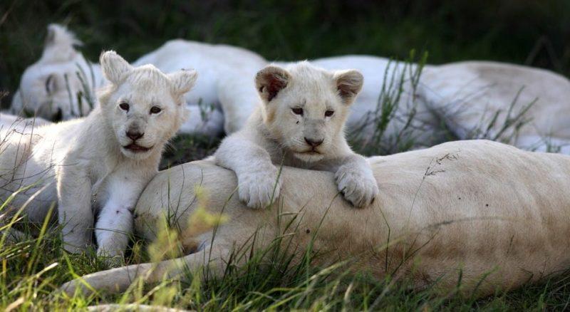 leones blancos bebe - recien nacido