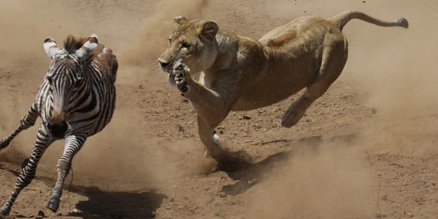 leon carnivoro alimentacion casador depredador presa