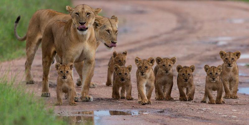 leon manada crias felino