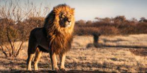 leon sabana africa