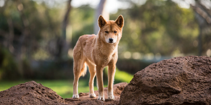 Perro dingo - animales del desierto