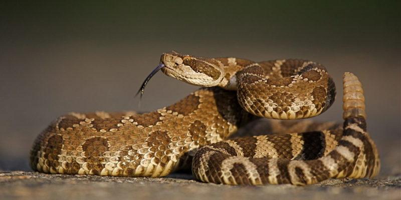 Serpiente cascabel - animales del desierto