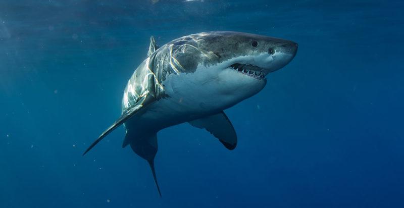 animales salvajes - tiburón