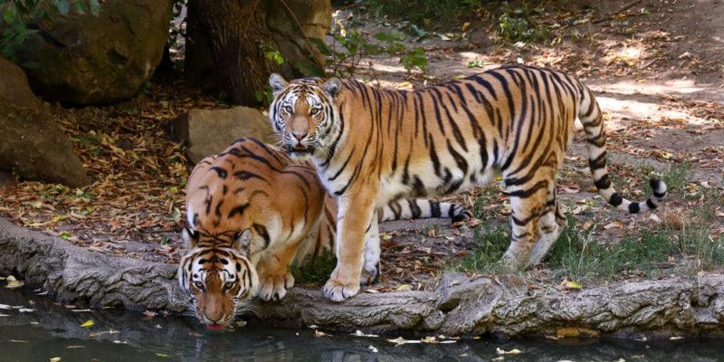 Tigre siberiano - animales salvajes