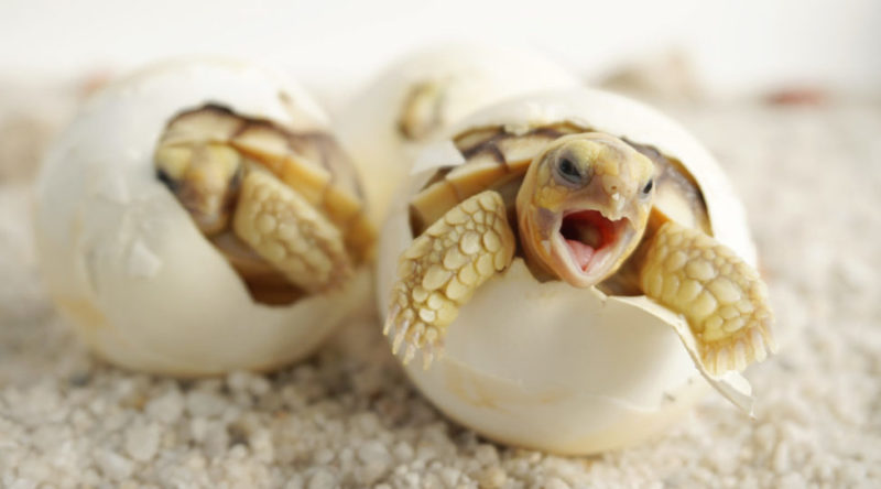 tortuga - huevo nacimiento
