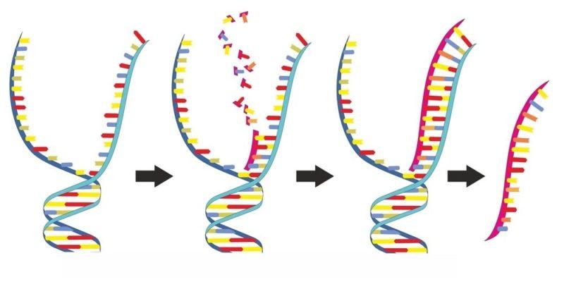 acidos nucleicos adn arn funciones