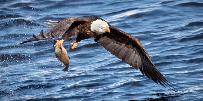 aves de rapiña presa rapaces depredador alimentacion caceria