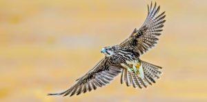 Aves de Rapiña