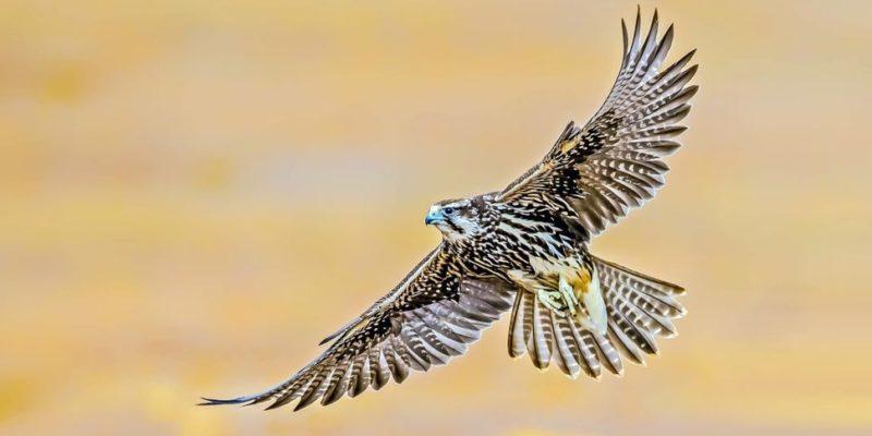 aves de rapiña presa rapaces depredador