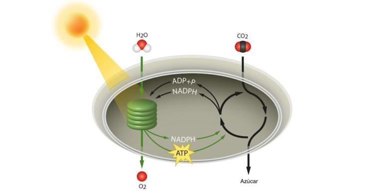 fotosintesis ciclo de calvin autotrofo