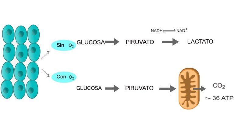 glucolisis-glucosa celula aerobica anaerobica