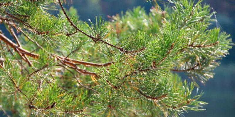 taiga bioma bosque conifera espinas flora