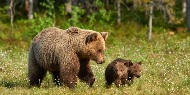 taiga bioma bosque fauna oso